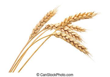 trigo, grupo, isolado
