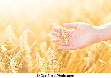 trigo, mão, field., femininas, cultivado, agrícola