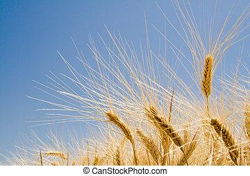 trigo, maduro, orejas