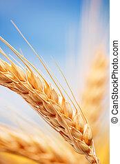 trigo, orejas, en, el, granja
