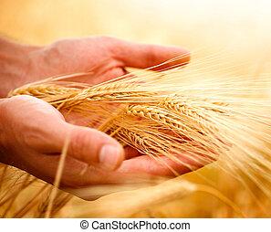 trigo, orejas, en, el, hands., cosecha, concepto