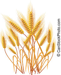 trigo, orelhas