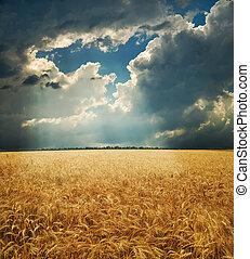 trigo, oro, campo de cielo, dramático, debajo, orejas