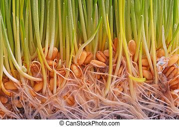 trigo, seedling
