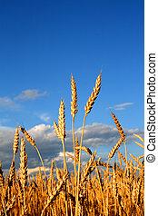 trigo, tallos