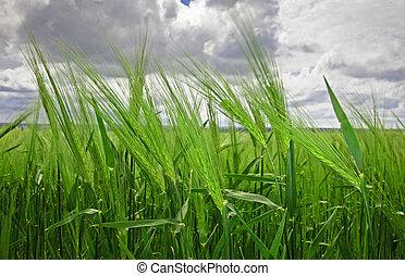 trigo verde, cabezas, contra, nublado, sky., xxl