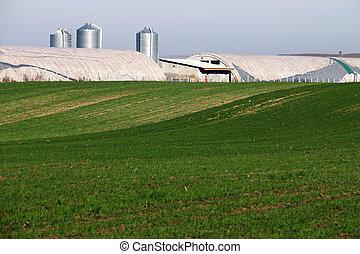 trigo verde, campo, y, granja, agricultura