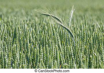 trigo verde, field., agricultura, fondo.