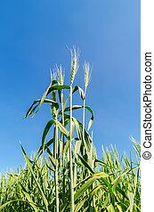 trigo verde, sob, profundo, céu azul