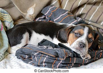 trikolore, beagle, junger hund, eingeschlafen