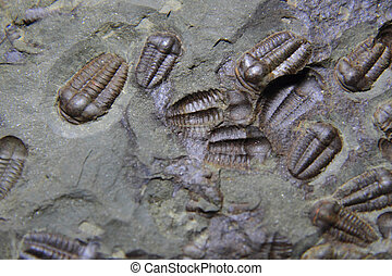 trilobite fossil as very nice natural background