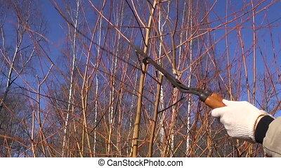 trim prune decorative willow bush tree branch in spring farm...