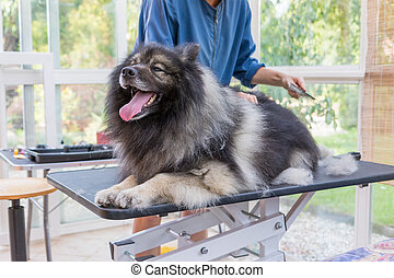 Trimed cute Wolf Spitz Dog lying on the table