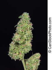 Trimmed cannabis buds (green crack marijuana strain) - ...