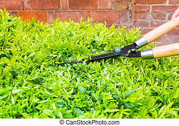 trimming bushes with garden scissors