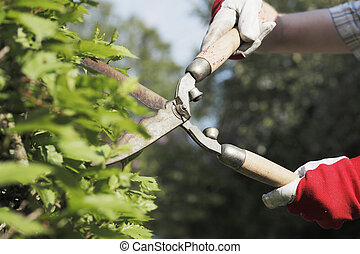 Trimming - gloved hands trimming a bush with worn scissors