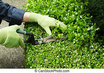 Trimming Hedges with Manual Shears - Horizontal photo of...