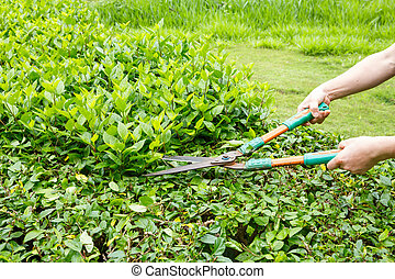Worker trimming green bushes by shrubs scissors