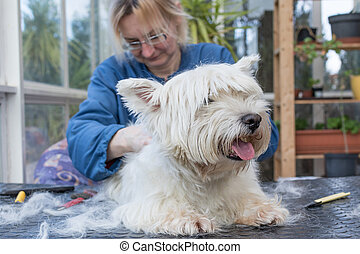 Trimming the back od the West Highland White Terrier Dog