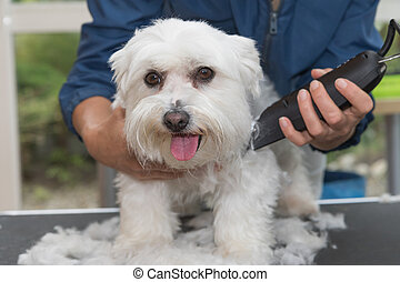Trimming the Maltese dog by electric razor
