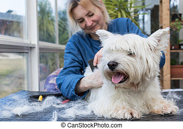 Trimming the West Highland White Terrier Dog closeup