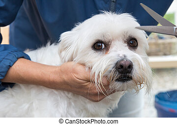 Trimming the white Maltese dog