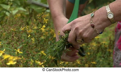 Trimming Yellow Milkweed Flowers
