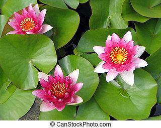 trio, de, lotus, fleurs