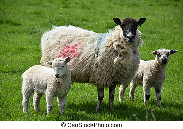 Trio of Lamb and Sheep in a Large Pasture