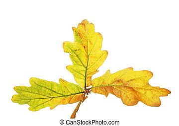 Trio of Oak leaves
