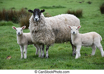 Trio of Sheep Standing in a Field on a Farm