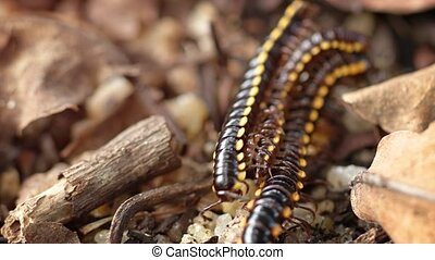 Three yellow spotted millipedes amongst the dry twigs and leaves on the forest floor. UltraHD 4k video