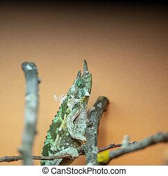 Trioceros jacksonii xantholophus, Kikuyu three-horned, also ...