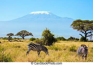 Trip to the Horn of Africa, Kenya. Pair of striped zebras graze in the savannah. The peak is Mount Kilimanjaro with a snow cap on a flat top. Southeast Kenya, the Amboseli park