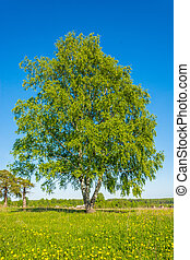 Triple birch.