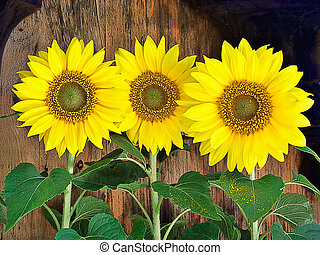 Three potted sunflowers sitting on a bench in a nursery.