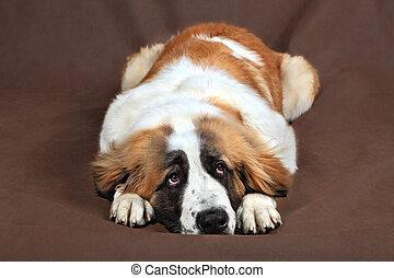 triste, perro, st. bernard, es, descansar, cabeza, pone, en,...