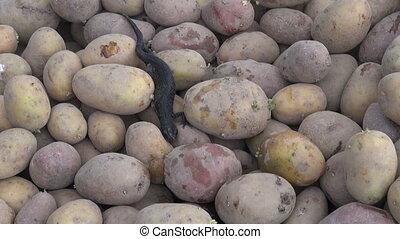 Triturus cristatus crawling over potatoes in cellar -...