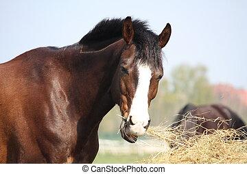 trocken, heu, pferd, essende, bucht