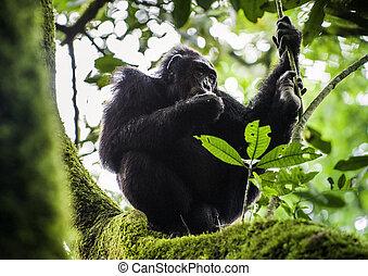 troglodytes, cacerola, descansar, chimpancé, árbol, arriba, (, retrato, cierre, selva, )