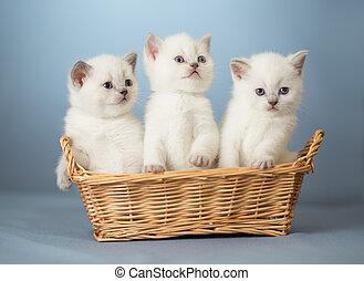 trois, blanc, britannique, chatons, dans, panier