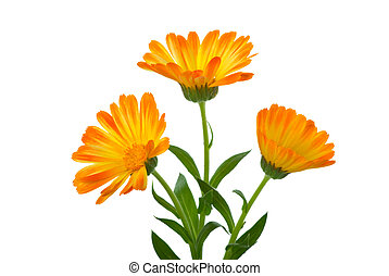 trois, calendula, fleurs
