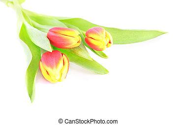 trois, isolé, tulipe, fond, fleurs blanches, rouges