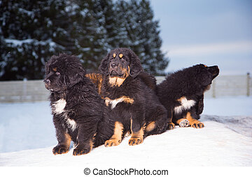 trois, noir, chiots, de, mastiff tibétain