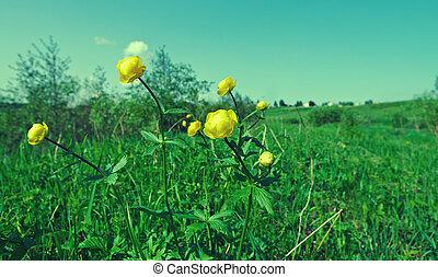 .Trollius europaeus - Russian spring meadow. Trollius ...