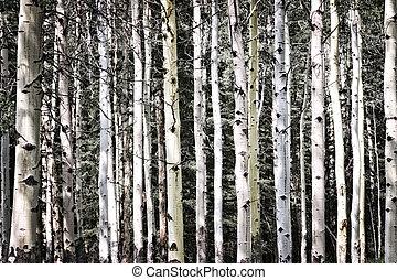 troncos álamo temblón, árbol