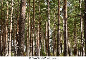 troncos, árvore, pinho