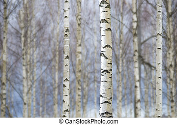 troncos, árvores, vidoeiro