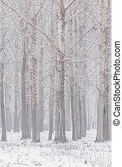 troncos, natural, árvores inverno, edição, poplar, fundo