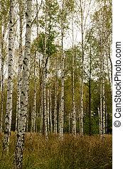 troncos, outonal, vidoeiro